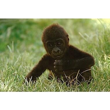 Gorilla Baby Poster, 24
