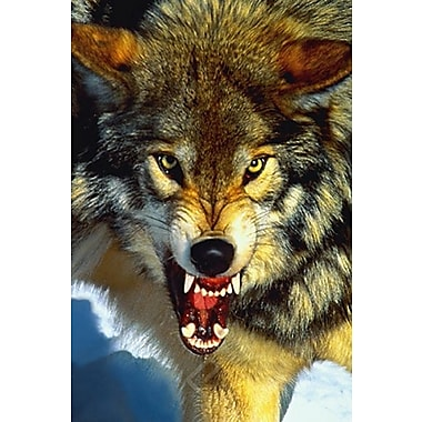 Gray Wolf Close- Up Poster, 24