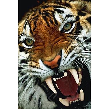 Tigre du Bengale de près, affiche, 24 x 36 po