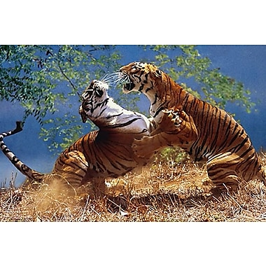 Tigers Fighting Poster, 24