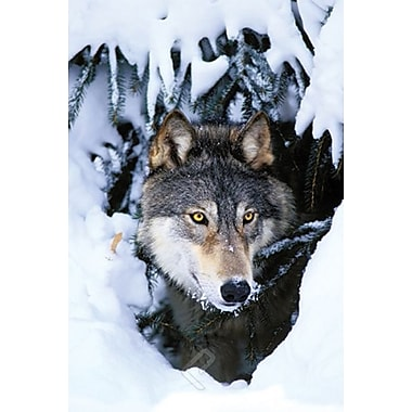 Winter Wolf Poster, 24