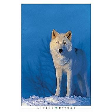 Loup blanc, affiche, 24 x 36 po