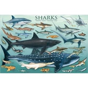 "Sharks Poster, 36"" x 24"""