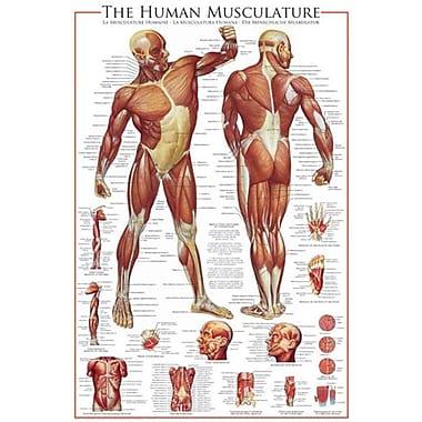 Système musculaire, affiche, 36 x 24 po