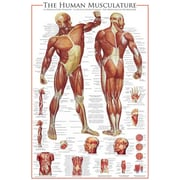 "The Muscular System Poster, 36"" x 24"""
