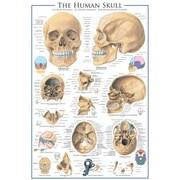 """The Skull Poster, 24"""" x 36"""""""