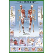"""The Human Body Poster, 36"""" x 24"""""""