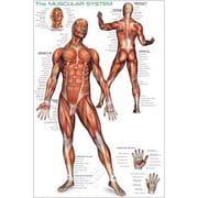 """Muscular System Poster, 24"""" x 36"""""""