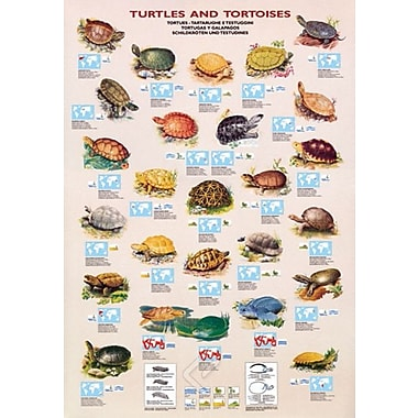 Turtles and Tortoises Poster, 26.75