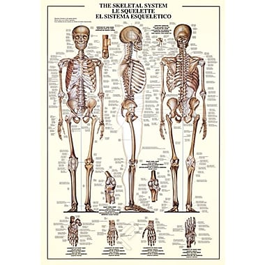 The Skeletal System Poster, 26.75