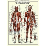 "Muscular System Anatomy Poster, 24"" x 36"""