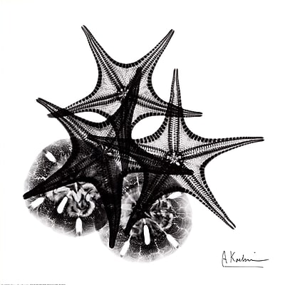 Evive Designs X-ray Starfish and Sand Dollar by Albert Koetsier Photographic Print