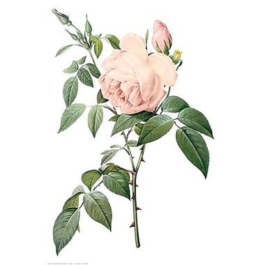 Fragrant Tea Rose by Redoute 1705-65360, Canvas, 24