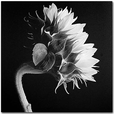 Trademark Fine Art 'Sunflower' 14
