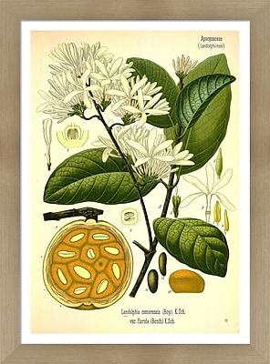 Evive Designs Vintage Botanical VII by Julia Kearney Framed Painting Print