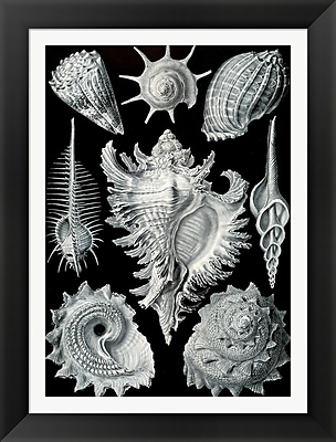Evive Designs Vintage Seashells II by Julia Kearney Framed Graphic Art
