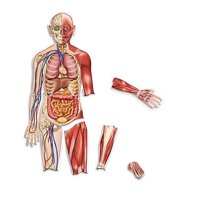 Learning Resources® Double Sided Magnetic Human Body