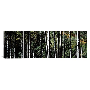 iCanvas Panoramic White Aspen Tree Trunks CO Photographic Print on Wrapped Canvas