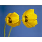 Portfolio Canvas Poppies on Royal Graphic Art on Wrapped Canvas