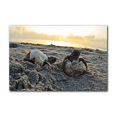 Ready2hangart Loggerhead Eggs Hatchling by Christopher Doherty Photographic Print on Canvas