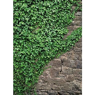 Komar Ivy Wall Mural, 100