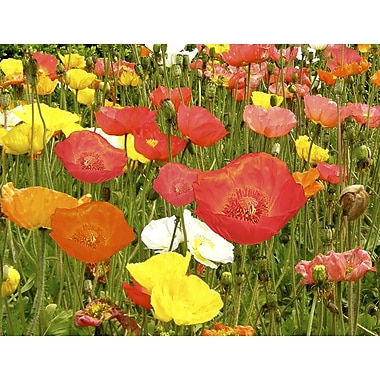 Graffitee Studios Field of Poppies Photographic Print on Wrapped Canvas