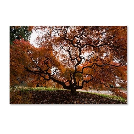 Trademark Fine Art Kurt Shaffer 'Autumn Japanese Maple Tree'  16 x 24 (KS01021-C1624GG)
