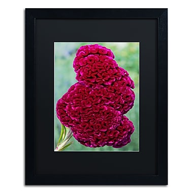 Trademark Fine Art Kurt Shaffer 'Coxcomb Flower' 16 x 20 (886511702486)