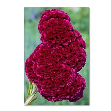 Trademark Fine Art Kurt Shaffer 'Coxcomb Flower' 12 x 19 (KS01030-C1219GG)