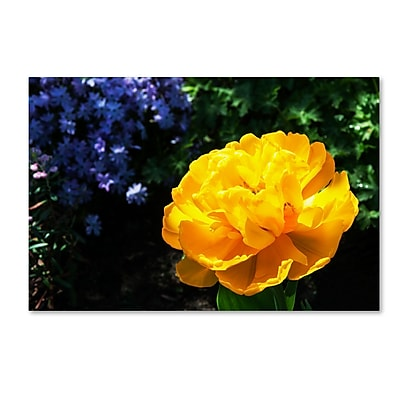 Trademark Fine Art Kurt Shaffer 'Yellow Double Headed Tulip' 22 x 32 (KS01056-C2232GG)