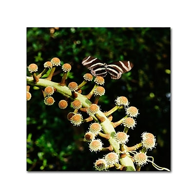 Trademark Fine Art Kurt Shaffer 'Zebra Longwing Butterfly' 24 x 24 (KS01057-C2424GG)