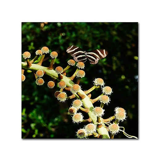 Trademark Fine Art Kurt Shaffer 'Zebra Longwing Butterfly'  18 x 18 (KS01057-C1818GG)