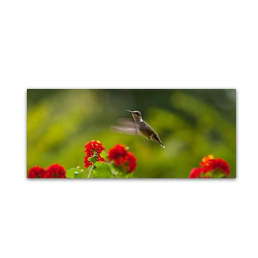 Trademark Fine Art Kurt Shaffer 'Happy Little Hummingbird'  14 x 32 (KS01061-C1432GG)