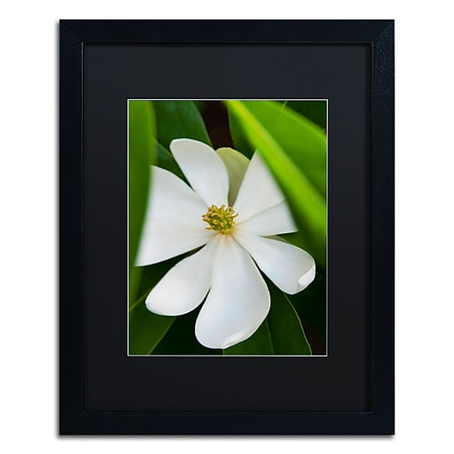 Trademark Fine Art Kurt Shaffer 'White Magnolia Flower'  16 x 20 (KS0133-B1620BMF)