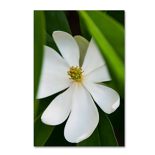 Trademark Fine Art Kurt Shaffer 'White Magnolia Flower'  16 x 24 (KS0133-C1624GG)