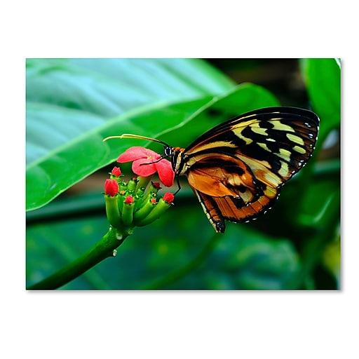 Trademark Fine Art Kurt Shaffer 'Cream Spotted Tigerwing'  18 x 24 (KS0166-C1824GG)