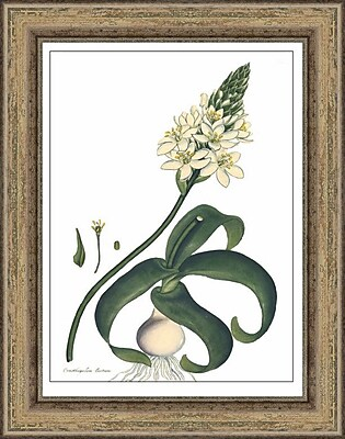 Melissa Van Hise Andrews' Ornothogalum by Choate Design Framed Graphic Art