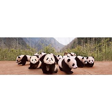 Bébés pandas, affiche de 36 x 12 po