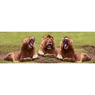 Lions qui bâillent, affiche de 12 x 36 po