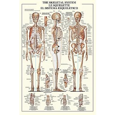 Affiche système squelettique, 24 x 36 po