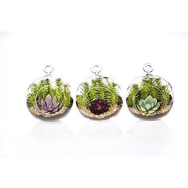 ShopSucculents Echeveria Colorata Succulent Hanging Plant in Terrarium (Set of 3)