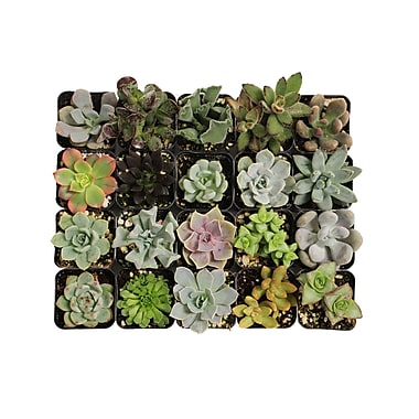 ShopSucculents 20 Piece Beautiful Succulents Plant in Pot Set