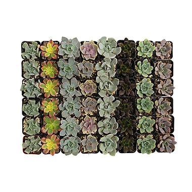 ShopSucculents 40 Piece Gorgeous Succulents Plant in Pot Set