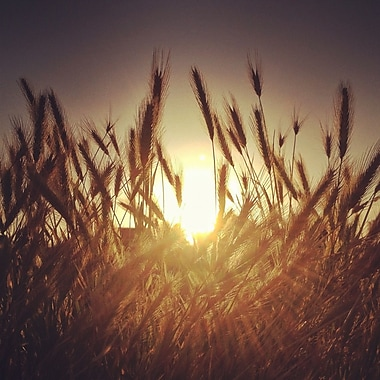 3PanelPhoto Sun Through The Wheat by Dirka Photographic Print on Wrapped Canvas