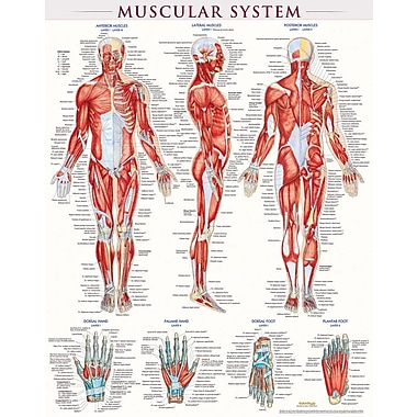 BarCharts, Inc. - QuickStudy® Muscular System Poster Reference Set
