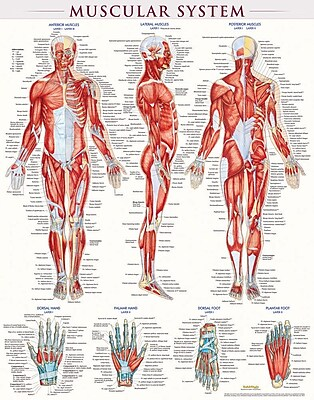 BarCharts, Inc. QuickStudy® Muscular System Poster Reference Set (9781423230731)