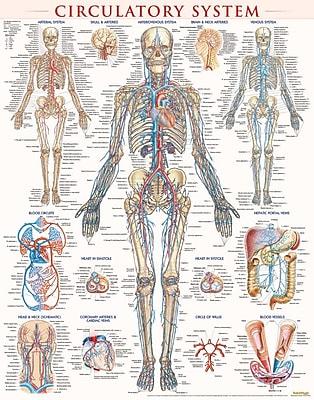 BarCharts, Inc. QuickStudy® Circulatory Poster Reference Set (9781423230786)