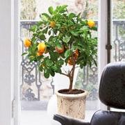 Platin Art Tangerines Tree Window Sticker