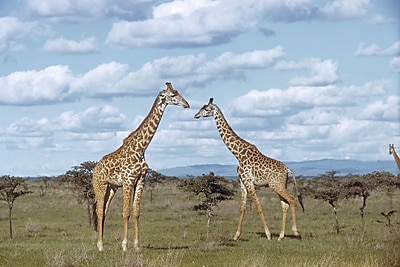 Brewster Home Fashions National Geographic Giraffes Wall Mural