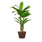 "Laura Ashley 80"" Tall Banana Tree with Real Touch Leaves in Planter (VHX117217)"